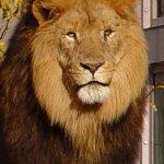 Lion Size:99.4 Kb Dim: 400 x 600