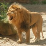 Lion Size:84.10 Kb Dim: 595 x 575