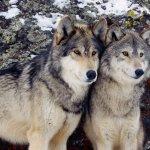 الذئبين