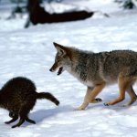 الذئب Size:309.20 Kb Dim: 1600 x 1200