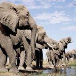 saidaonline-elephants