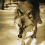 ذئب ثلجي