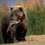 الدب صائد الأسماك
