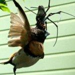 عنكبوت يفترس عصفور !! 3