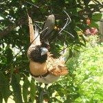عنكبوت يفترس عصفور !! 4