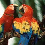 طيور ملونة