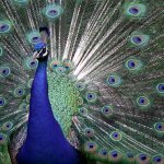 طاووس Size:244.70 Kb Dim: 1024 x 768