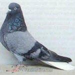 الطيور والجوارح8