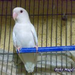 طائر الحب الابيض