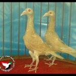 الطيور والجوارح12
