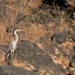 طير اللقلق في عمان