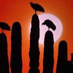 طير النورس