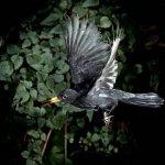 الطير الأسود