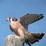 الطيور والجوارح11