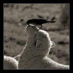 الطيور والجوارح13