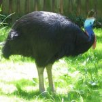 cassowary اخطر طيور العالم1