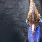 cassowary اخطر طيور العالم2