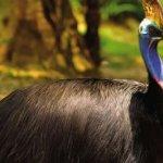 cassowary اخطر طيور العالم7