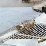 البطه وعيالها1