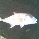 سمكة الجولان او ابوراس