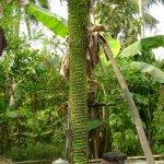 أطول حصاد لشجرة الموز