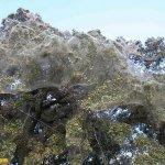 غابة تغطيها خيووط العنكبوت3