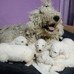 الكلب الاكثر شعرا بالعالم!1