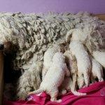 الكلب الاكثر شعرا بالعالم!2