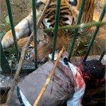 لا تلعب مع النمر البنغالي 1