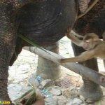 قرد و فيل صداقه غريبه1