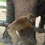 قرد و فيل صداقه غريبه6