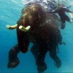 عمركم شفتو فيل يغوص تحت الماء1