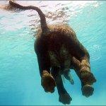 عمركم شفتو فيل يغوص تحت الماء2