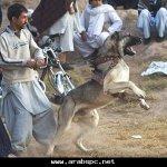 قتال الكلاب التقليدية بأفغانس2