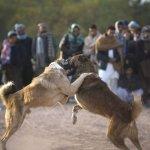 قتال الكلاب التقليدية بأفغانس4