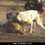 قتال الكلاب التقليدية بأفغانس5