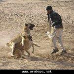 قتال الكلاب التقليدية بأفغانس6