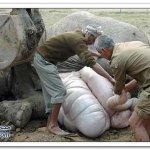 قطار يصدم انثى الفيل وهي حامل1