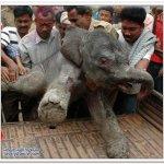 قطار يصدم انثى الفيل وهي حامل4