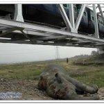 قطار يصدم انثى الفيل وهي حامل6