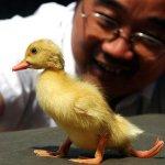 بطة صفراء في الصين تسير ب3 أر1