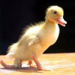 بطة صفراء في الصين تسير ب3 أر2 Size:109.90 Kb Dim: 450 x 402