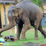 الفيل لما يعصب مشكله ...2