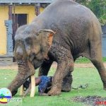 الفيل لما يعصب مشكله ...3