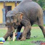 الفيل لما يعصب مشكله ...4