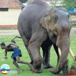 الفيل لما يعصب مشكله ...5