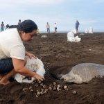 بيض السلاحف في كوستاريكا 2