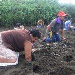 بيض السلاحف في كوستاريكا 3