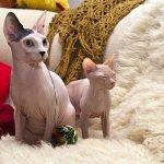 القطط الصلعاء - قطط بدون شعر 1
