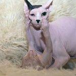القطط الصلعاء - قطط بدون شعر 2 Size:42.10 Kb Dim: 750 x 500
